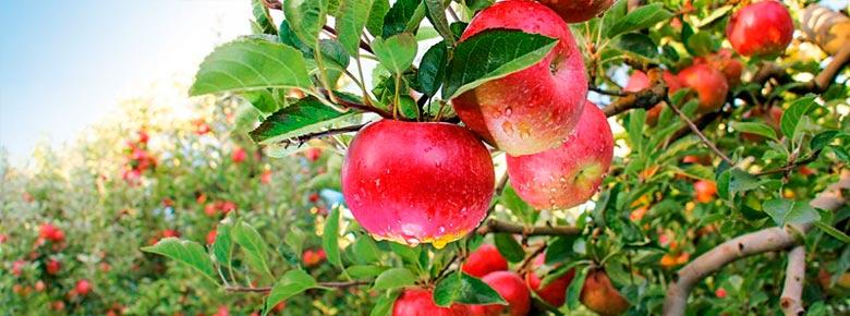 «УАСК АСКА» выплатила агрофирме «Дельтафрут» 1,6 млн. грн. возмещения за утраченный урожай яблок